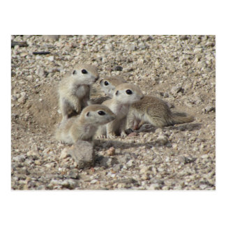 Baby Round-tailed Ground Squirrel Family Postcard