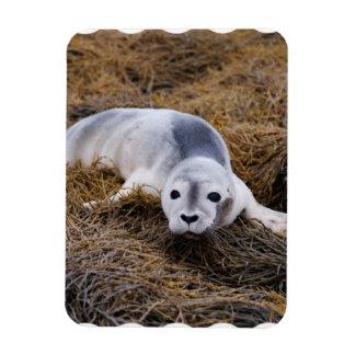 baby-seal-8.jpg rectangular photo magnet