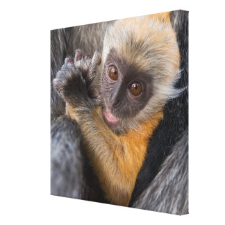 Baby Silvered Leaf Monkey (Lutung, Rachypithecus) Stretched Canvas Prints
