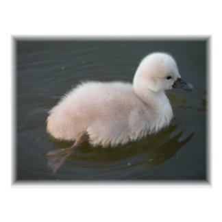 Baby Swan Out For A Swim Postcard