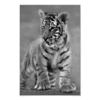 Baby Tiger in Black and white Poster
