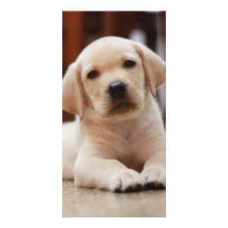 Baby Yellow Labrador Puppy Dog laying on Belly Photo Cards