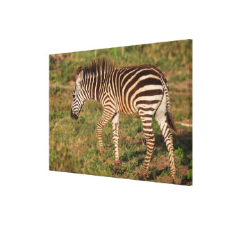 Baby Zebra walking, South Africa Canvas Print