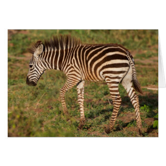 Baby Zebra walking, South Africa Card