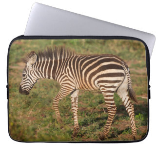 Baby Zebra walking, South Africa Computer Sleeve