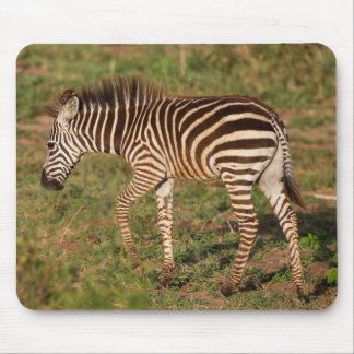 Baby Zebra walking, South Africa Mouse Pad