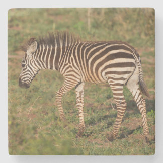 Baby Zebra walking, South Africa Stone Coaster