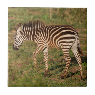Baby Zebra walking, South Africa Tile