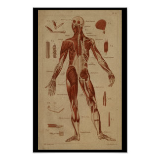 Back Muscles Vintage Human Anatomy Print