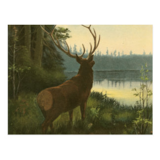 Back view of Elk Looking over a Lake Postcard