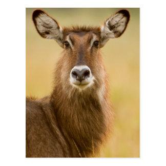 Backlit Portrait Of Female Defassas Waterbuck Postcard