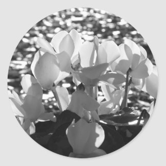 Backlits white cyclamen flowers on dark background classic round sticker