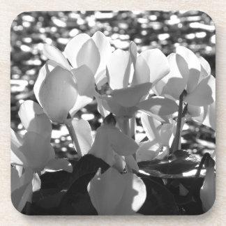 Backlits white cyclamen flowers on dark background coaster