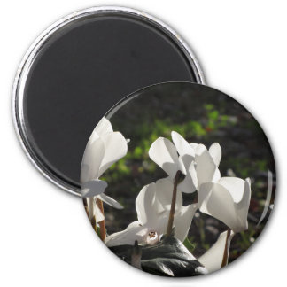 Backlits white cyclamen flowers on dark background magnet