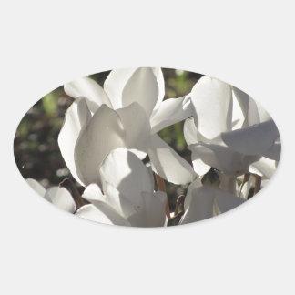 Backlits white cyclamen flowers on dark background oval sticker