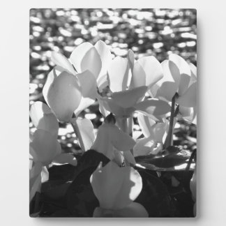 Backlits white cyclamen flowers on dark background plaque