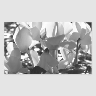 Backlits white cyclamen flowers on dark background rectangular sticker
