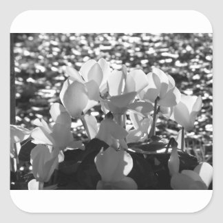 Backlits white cyclamen flowers on dark background square sticker