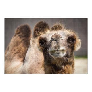 Bactrian camel photo print