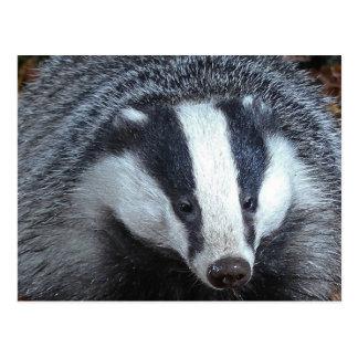 Badger Closeup Postcard