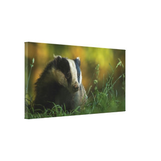 Badger in the evening sunlight canvas print