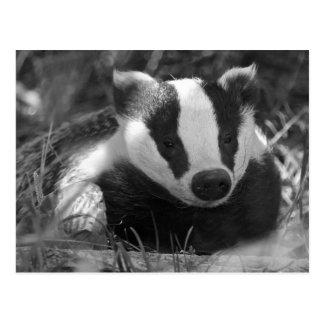 Badger postcard postcard