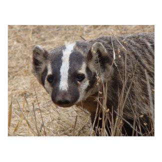Badger Staredown Postcard