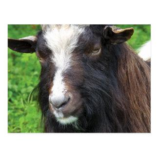 Bagot Goat | Rare Breed Postcard