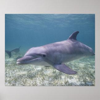 Bahamas, Grand Bahama Island, Freeport, Captive 2 Poster