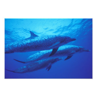 Bahamas, Spotted dophins. Photographic Print