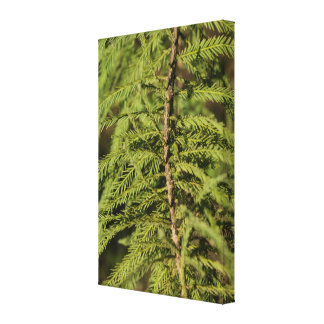 Bald Cypress Branch Canvas Print