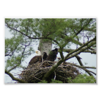 Bald Eagel in nest 7 x5 Photographic Print