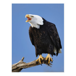 Bald Eagle calling, Homer, Alaska, Haliaetus Postcard
