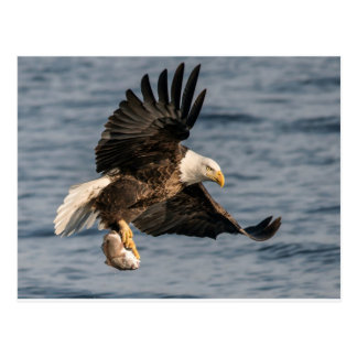 Bald Eagle Catching Food Postcard