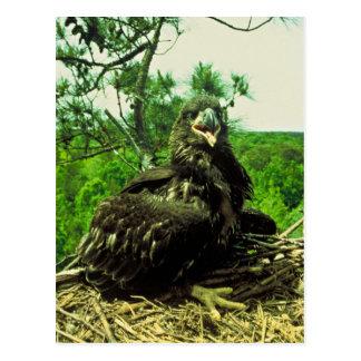 Bald Eagle Chick Postcard