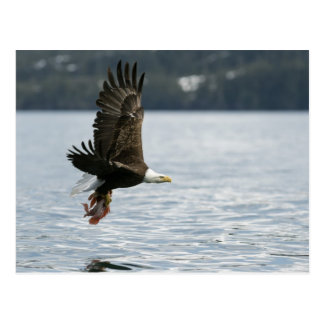 Bald Eagle Fish Retrieval Postcard
