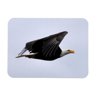 Bald Eagle Flying High! Magnet