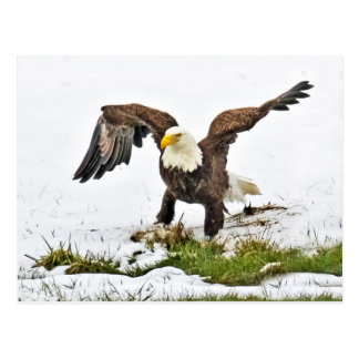 Bald Eagle Gathering Grass With Snow Post Cards