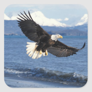bald eagle, Haliaeetus leuccocephalus, in flight Square Sticker