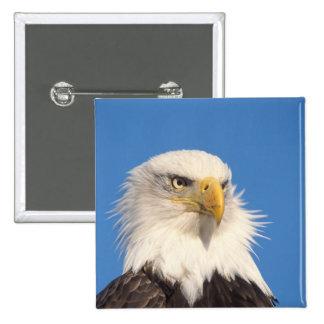 bald eagle, Haliaeetus leucocephalus, close up, 15 Cm Square Badge