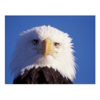 bald eagle, Haliaeetus leucocephalus, head shot, Postcard