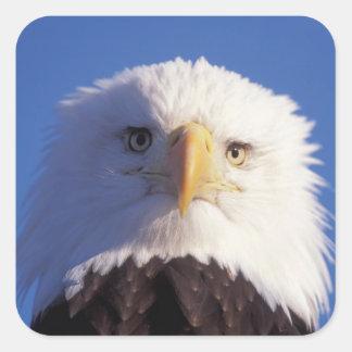 bald eagle, Haliaeetus leucocephalus, head shot, Square Sticker