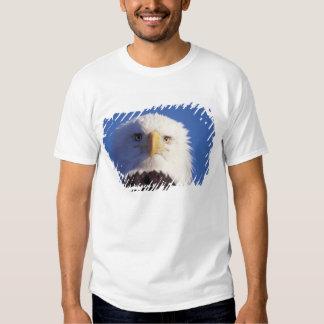 bald eagle, Haliaeetus leucocephalus, head shot, Tees