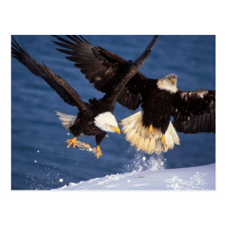 bald eagle, Haliaeetus leucocephalus, taking off Postcard