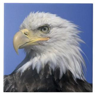 Bald Eagle, (Haliaeetus leucocephalus), wild, Large Square Tile