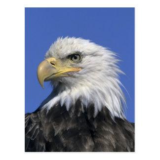 Bald Eagle, (Haliaeetus leucocephalus), wild, Postcard