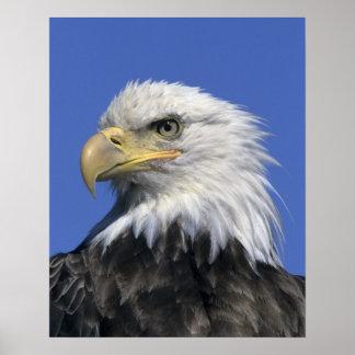 Bald Eagle, (Haliaeetus leucocephalus), wild, Poster