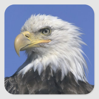 Bald Eagle, (Haliaeetus leucocephalus), wild, Square Sticker