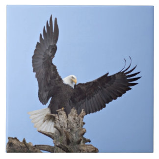 Bald Eagle (Haliaeetus leucocephalus) with wings Tile