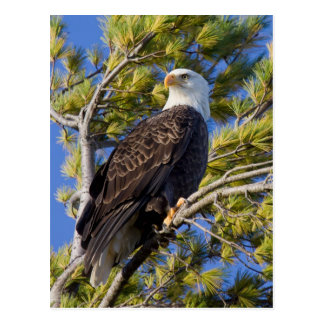 Bald Eagle I Postcard